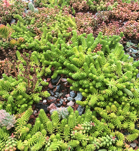 renewable resource: Sedum Sexangulare EcoCline green roof