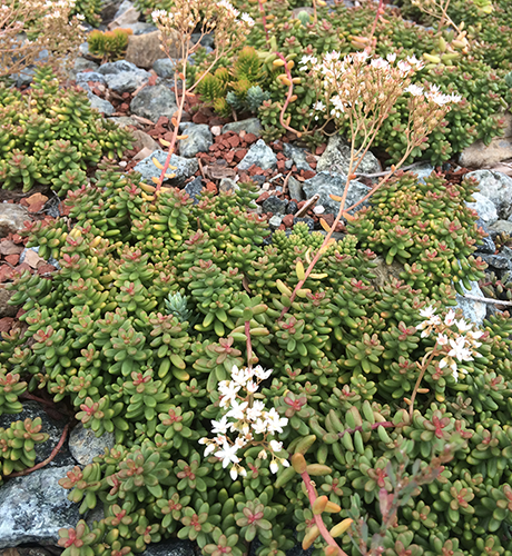 green roof history: young sedum EcoCline green roof