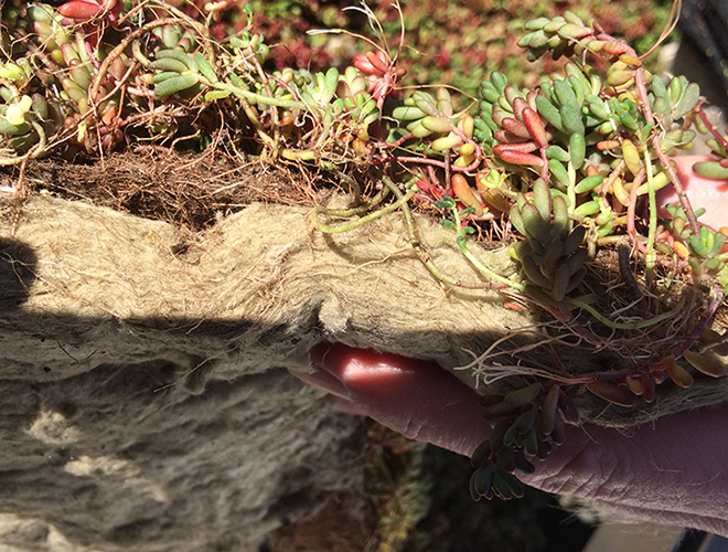 green roof plants: Mineral Wool Root Penetration green roof