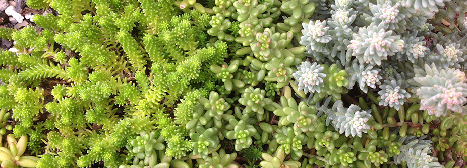 green roof best practices: sedum green roof species