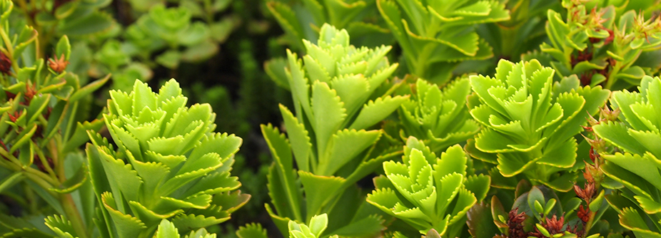 green roof plants: sedum broadleaf green roof