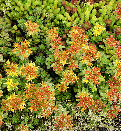 stormwater management: Sedum floriferum flowering green roof